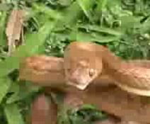 オオガシラヘビ