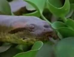 ヘビの交尾
