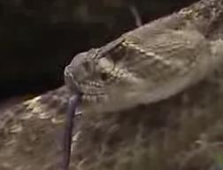ガラガラヘビ2